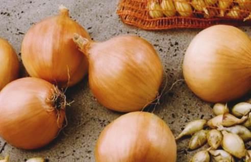Особенности выращивания лука сорта коррадо